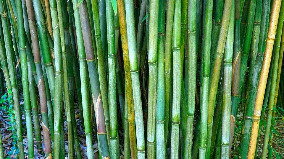 Coltivazioni bambù: la corsa all'oro verde
